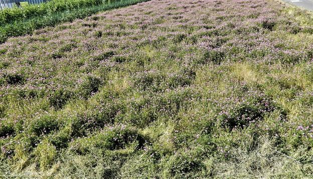 レンゲソウ畑 (2)