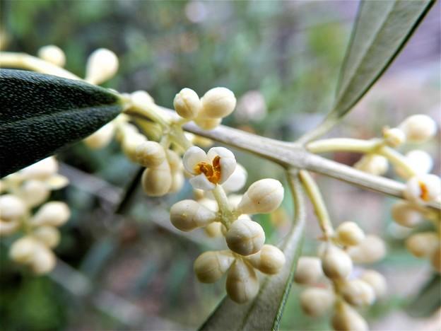 オリーブの花(1)