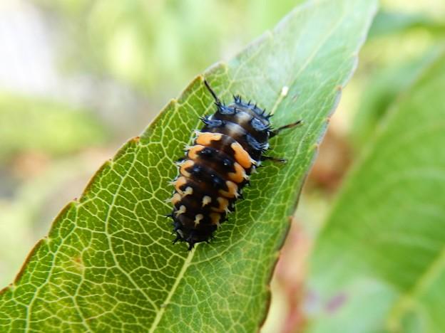 ナミテントウの幼虫 (1)
