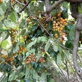 写真: 葡萄柿 (1)