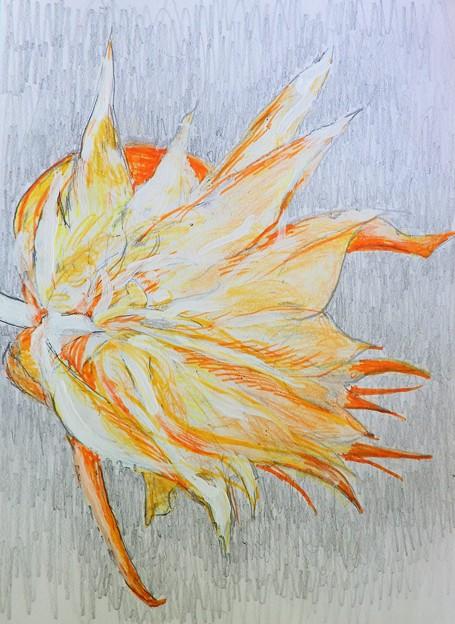 白眉孔雀 (1)