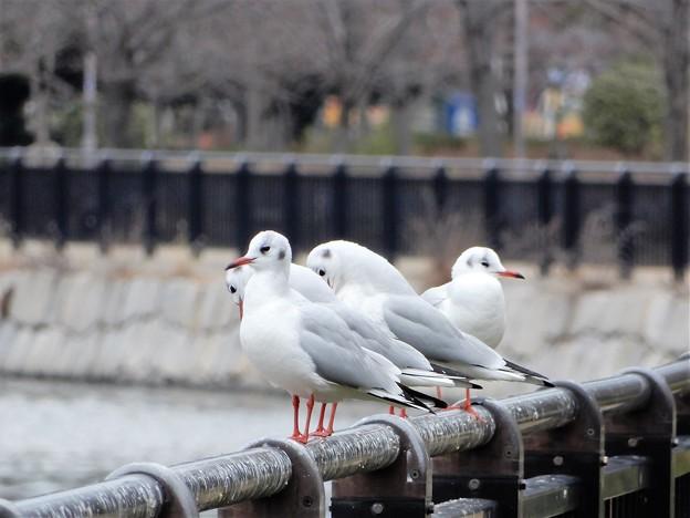 大阪城公園のカモメ (2)