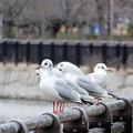 写真: 大阪城公園のカモメ (2)