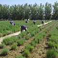 ラベンダー畑での作業