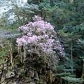 写真: 面河渓に咲く花