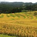 写真: 収穫を待つ
