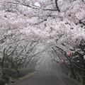 写真: 霧煙る桜散歩道