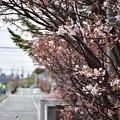 写真: 桜の咲く頃