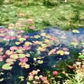 写真: モネの池?