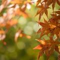 写真: 寂光院の紅葉