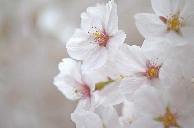 写真: 170417内川河川緑地公園の桜01