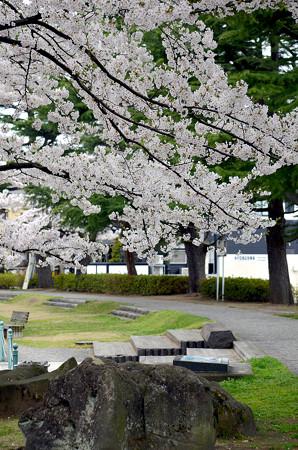 170417内川河川緑地公園の桜02