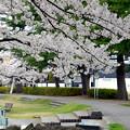 写真: 170417内川河川緑地公園の桜02