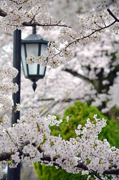 写真: 170417内川河川緑地公園の桜04
