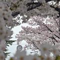 写真: 170417内川河川緑地公園の桜06