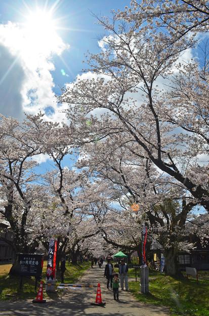 写真: 170422松ヶ岡開墾場桜並木01