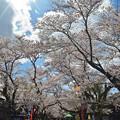 170422松ヶ岡開墾場桜並木01