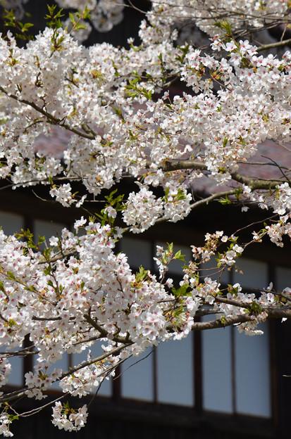 写真: 170422松ヶ岡開墾場 桜と開墾記念館02