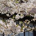 170422松ヶ岡開墾場 桜と開墾記念館02