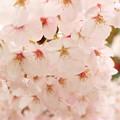 写真: ぶどう桜