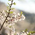 写真: 醍醐桜