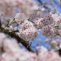 がいせん桜