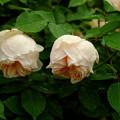 ロックヒルピーチティー ''Rock Hill Peach Tea'' Found Tea (3)