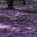 写真: 花弁の絨毯