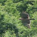 写真: クマタカ幼鳥-11