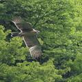 写真: クマタカ幼鳥-16