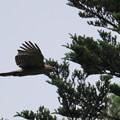 写真: クマタカ幼鳥-2