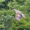 写真: クマタカ幼鳥-8