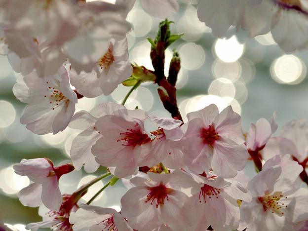 写真: 桜舞い、光舞う
