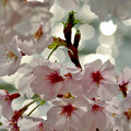 桜舞い、光舞う