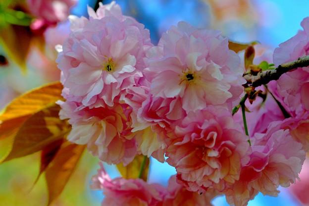 写真: 桜の礼儀
