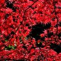 紅葉の楽しみ