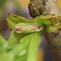 チョウセンアカシジミ幼虫(5月9日) (2)