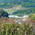 写真: 蒲郡のアサギマダラ3_edited-1