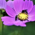 写真: 幸せの青い蜂