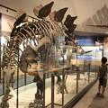 Photos: ステゴサウルス