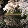 Photos: 散りゆく桜