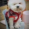 Photos: 万事如意、梵天丸もかくありたい~台湾 Bichon Frise