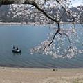写真: 河口湖畔の桜