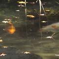 Photos: 池の鯉