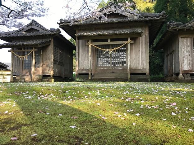 写真: 神社の桜
