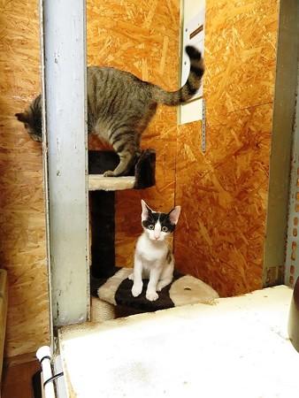シャビィ「キャットタワーに乗ってみました」