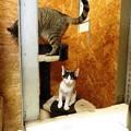 写真: シャビィ「キャットタワーに乗ってみました」