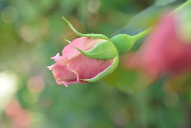 バラが咲き始めてたよ??