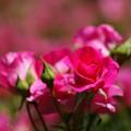 写真: 薔薇(うらら)