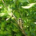 写真: シジュウカラ(幼鳥)